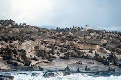 Foki wyspa w Fałszywej zatoce, Południowa Afryka Obrazy Royalty Free