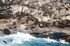 Foki wyspa w Fałszywej zatoce, Południowa Afryka Zdjęcie Royalty Free