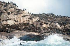 Foki wyspa w Fałszywej zatoce, Południowa Afryka Obraz Royalty Free