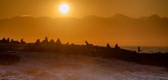 Foki wyspa w Fałszywej zatoce, Południowa Afryka Fotografia Stock