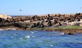 Foki wyspa w Kapsztad Zdjęcie Stock