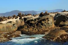 Foki wyspa w Kapsztad Zdjęcia Royalty Free