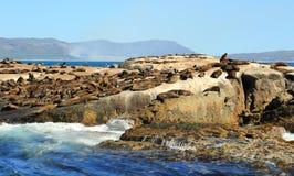Foki wyspa w Kapsztad Zdjęcie Royalty Free