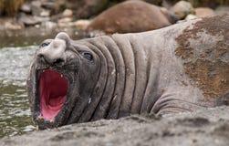 Słoń foki ziewanie Zdjęcia Royalty Free