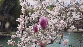 Fokusövergång från magnolian som blommar med talrika vita blommor till en magnoliablomma av karmosinröd färg sanny dag arkivfilmer
