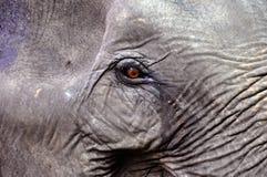Fokus auf dem Auge eines Elefanten Stockbilder