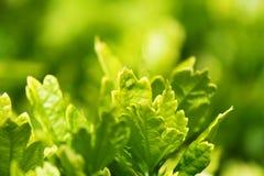 Fokus auf Grün verlässt Anlagen von der Hecke Stockfotos