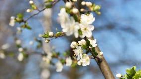 Fokus auf Kirschbaumblüte, Frühlingszeit stock video