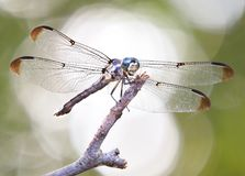 Fokus hintergrundbeleuchtete StaplungsNahaufnahme einer blauen Dasher-Libelle lizenzfreie stockbilder