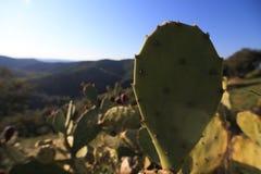 Fokus i en stor kaktus Royaltyfria Bilder