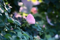Fokus ist weiter Rand der Tulpe Rosen-Blumennahaufnahme Frühlingsblume von lizenzfreie stockfotos