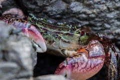 Fokus på framsida av den gröna krabban arkivfoton