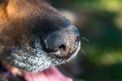 Fokus på gammal näsa för tyska herdar fotografering för bildbyråer