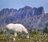 Fokus staplad bild av en bergsfårglaciärnationalpark Royaltyfri Fotografi