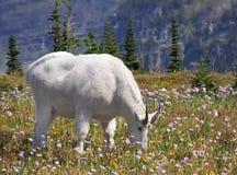 Fokus staplad bild av en vit bergsfår som betar bland Wen Royaltyfria Bilder