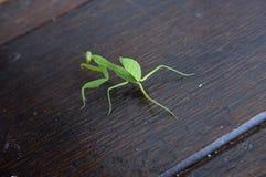 Fokus von Erbeutungsgottesanbeterin Mantid-Mantises stockbilder