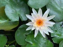 Fokusen av vit lotusblomma, gult pollen på lotusblommabladet, grön buddism royaltyfri fotografi