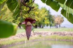 Fokusera en bananknopp p? tr?d med bakgrund f?r f?ltet f?r gr?nt gr?s Asiatisk toppen frukt b?r fruktt tropiskt bild f?r bakgrund royaltyfri foto