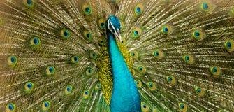 Fokusera huvudet av den indiska påfågeln som visar dess drev royaltyfri bild