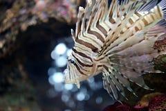 Fokusera lionfishen och farligt Fotografering för Bildbyråer