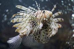 Fokusera lionfishen och farligt Arkivbilder