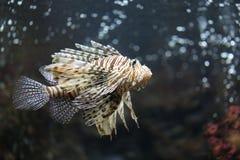 Fokusera lionfishen och farligt Royaltyfria Foton