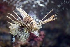 Fokusera lionfishen och farligt Arkivfoton