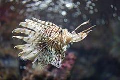 Fokusera lionfishen och farligt Arkivfoto