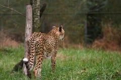 fokuserad cheetah Arkivfoto