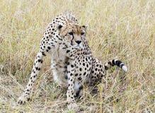 fokuserad cheetah Fotografering för Bildbyråer