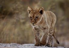 Fokuserad lejongröngöling Fotografering för Bildbyråer