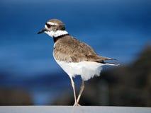 Fokuserad Semipalmated brockfågelfågel med suddig havbakgrund i Carmel, Kalifornien royaltyfri fotografi