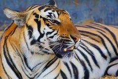 fokuserad tiger Royaltyfri Foto
