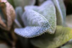 Fokuserade vita håriga blad Fotografering för Bildbyråer