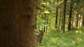 Fokuserar åter den vintergröna skogen för det härliga berget i Europa, arkivfilmer