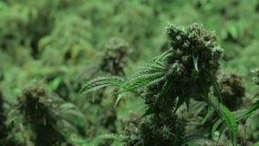 Fokushandtag på att blomma marijuanaväxten med en oskarp bakgrund arkivfilmer