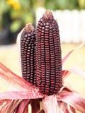 Fokussieren Sie Bild des braunen Maiskolbenmodells auf dem organischen Maisgebiet Lizenzfreie Stockfotografie