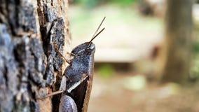 Fokussierte die halbe Körperansicht der dunkelbraunen Heuschrecke, die auf einem Baum sitzt gut, linke Seite des Makroschusses stockfotos