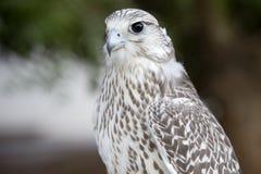 Fokussierter Falke Lizenzfreie Stockfotografie