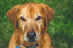 Fokussiertes Labrador retriever lizenzfreie stockfotos
