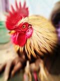 Fokussuddighet av haneögat Royaltyfri Foto