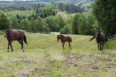 Fol and mature horses Stock Photography