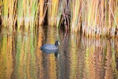 Folaga americana, lago Boronda, parco della collina pedemontana, Palo Alto, California Immagini Stock
