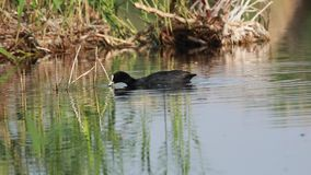 Folaga comune che mangia erbaccia in lago stock footage