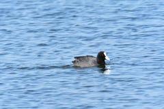 Folaga dell'uccello acquatico che galleggia sul lago blu fotografia stock