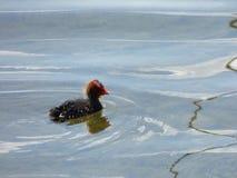 Folaga nera sul lago Fotografie Stock