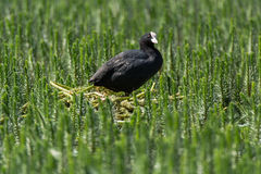 Folaga & x28; Atra& x29 del Fulica; stando sul nido fra vegetazione acquatica Immagine Stock