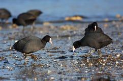 Folaghe che si incontrano sulla spiaggia Fotografia Stock Libera da Diritti