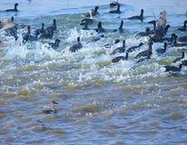 Folaghe comuni correnti nel lago Randarda, Rajkot, Gujarat Fotografie Stock Libere da Diritti