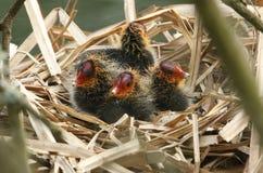 Folaghe del bambino, atra del Fulica, sedentesi sul loro nido fotografie stock
